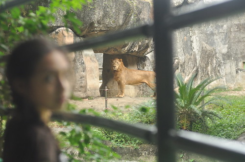 Lion (Avilon Zoo)